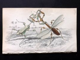 Jardine C1840 Hand Col Insect Print. Empusa Gongylodes & Lobipes